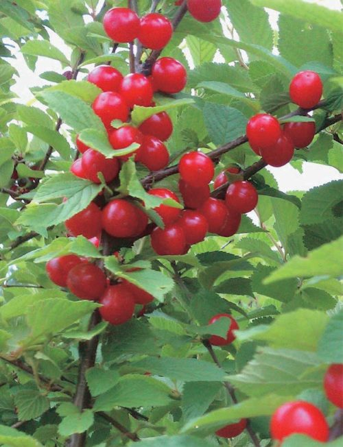 nanking cherry planting instructions