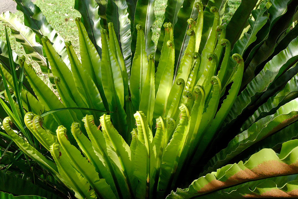 birds nest fern care instructions